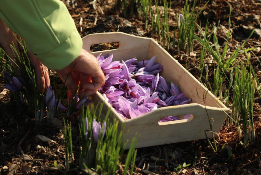 Récolte du safran